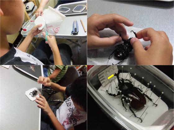 カブトムシ標本作り